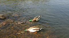 Mallard drake water bird in morning feeding weed Stock Footage