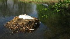 Swan bird clutch in nest in pond - stock footage