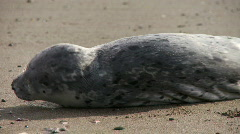 Seal pup on beach- suffering 2 Stock Footage