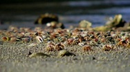 Crabs washed inland Stock Footage