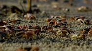 Crabs at water line, CU2 Stock Footage