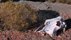 Close-up of a cow skull in the desert Stock Footage