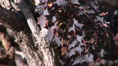 Close-up of purple leaves on a tree Stock Footage