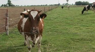Cows pan Stock Footage