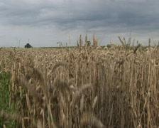 Grains Stock Footage
