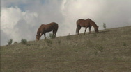 MtHamiliton HorsesGrazingMS Stock Footage