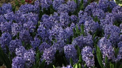 Common Hyacinth, Hyacinthaceae, Blue Jacket, bluebells. Stock Footage