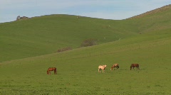 Horses graze in green fields Stock Footage
