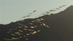 A strand of wheat shines in the sun - stock footage