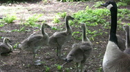 Mother Goose with babies Stock Footage