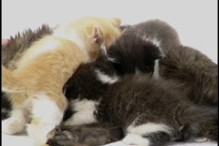 Kittens nurse Stock Footage