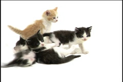 Kittens play Stock Footage