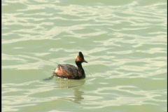 Duck dives below water Stock Footage