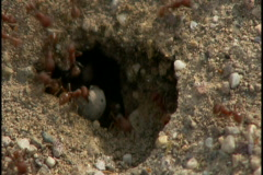 Worker ants at hole Stock Footage