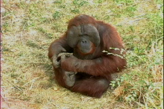 Orangutan sits - stock footage