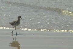 Bird walks along shore Stock Footage