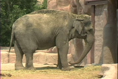 Elephant swings trunk Stock Footage
