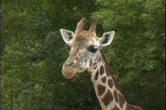 Giraffe chews on food Stock Footage