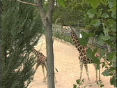 Mother and baby giraffe at zoo Stock Footage