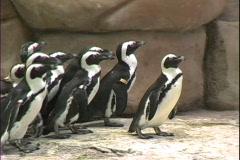 Penguins waddle along walkway Stock Footage