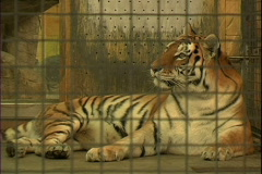 Tiger in cage Stock Footage
