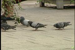 Pecking Pidgeons Stock Footage