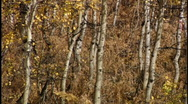 Stock Video Footage of Aspen tree trunks