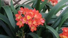 Clivia miniata, Amaryllidaceae Stock Footage