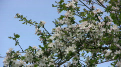 Apple blossom branch Stock Footage