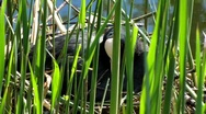 Stock Video Footage of Common Coot Swimming-chicken clutch egg in nest