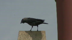 Jackdaw enters nest in chimney with crop full Stock Footage