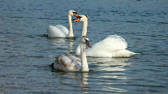 Swans swimming Stock Footage
