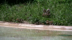 Duck Family next to Water Stock Footage