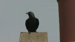 Jackdaw leaves nest in chimney carrying rubbish 2 Stock Footage
