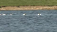 Common Gulls land on fresh water Stock Footage
