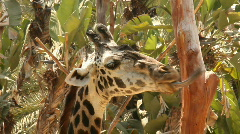 Funny Giraffe Moving Mouth as if Talking - stock footage