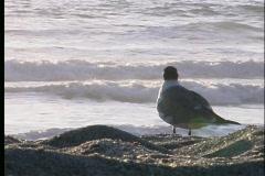 Sea gull - 1 Stock Footage