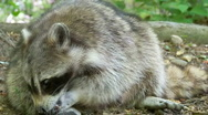 Stock Video Footage of racoon