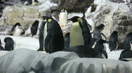 Penguins in a Manmade Environment Stock Footage
