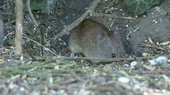 Mouse under hedge 2 Stock Footage