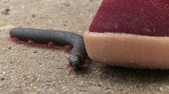 Centipede Stock Footage
