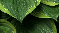 Rain on Leaves 1 Stock Footage