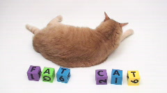 Orange tabby with fat cat alphabet blocks - HD  Stock Footage