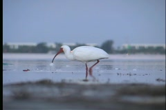 White Ibis - 2 Stock Footage