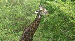 Malawi: giraffe in a wild 12a Stock Footage