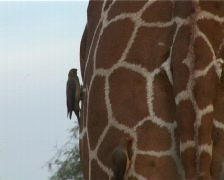 Ox-peckers grooming a giraffe. Stock Footage