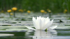 White water lily. Stock Footage