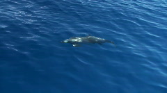 Spinner dolphin, 10 Stock Footage