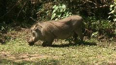 Malawi: wild boar in savanna 4 Stock Footage