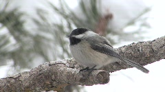 P00204 Chickadee in Winter Snowstorm Stock Footage